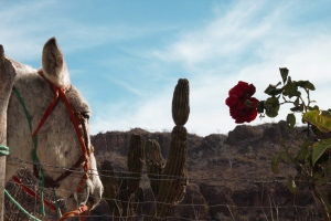 Mule and Red Flower (2)