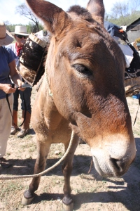 This mule gives me the stink eye as I angle in for just the right shot.